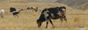 Cows Grazing in the Jordan Valley
